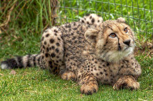 Cucciolo di ghepardo vicino a una rete