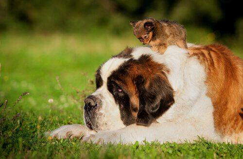 Cucciolo sulla schiena di un gran san bernardo steso sul prato