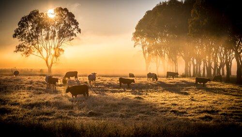 Cos'è l'allevamento estensivo del bestiame?