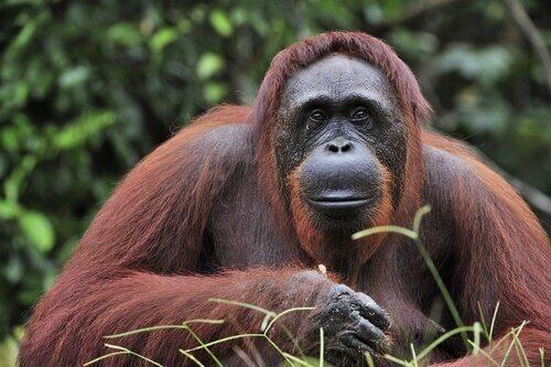 Orango del Borneo seduto nella foresta