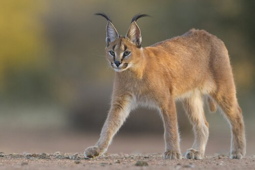 Caracal cammina sul terreno