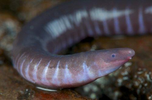 Gimnofione tra anfibi che non hanno zampe
