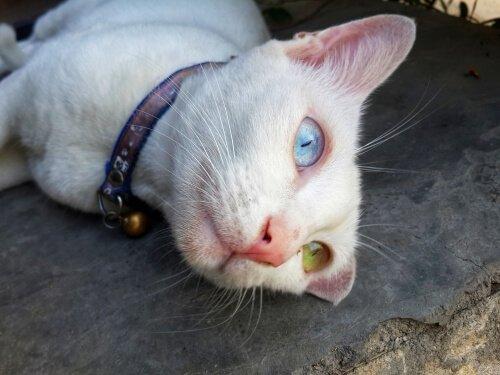Khao manee, il gatto con gli occhi di colore diverso