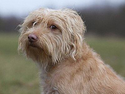 un esemplare di Smoushond olandese di profilo