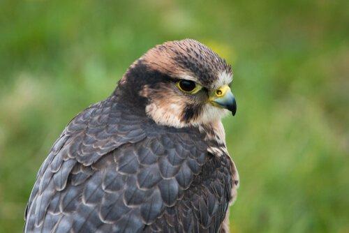 Falco Lanario visto da vicino
