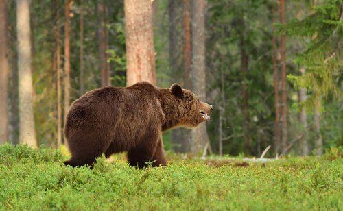 un esemplare di orso bruno europeo in un bosco