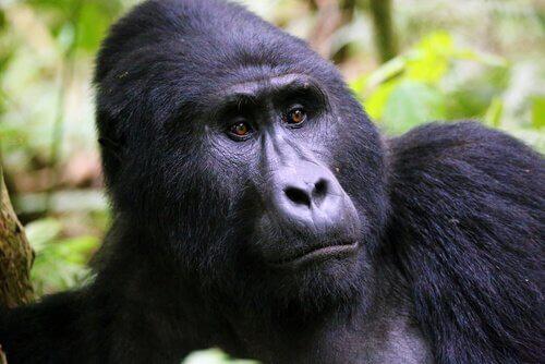 Gorilla di montagna in stato critico di estinzione