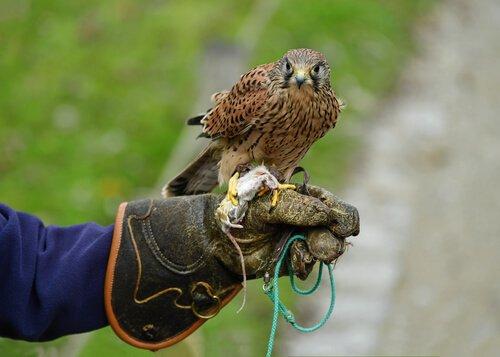 Falco appoggiato sul guanto del falconiere