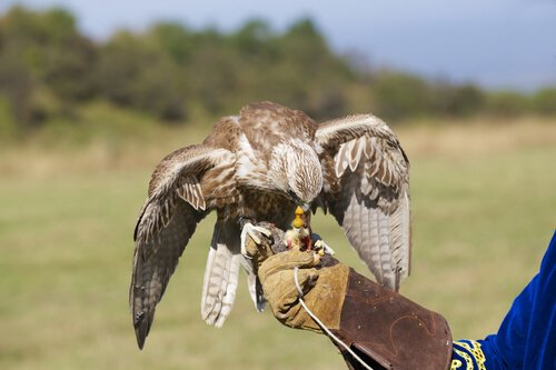 Come addestrare un falco?