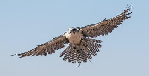 Falco vola con le ali spiegate
