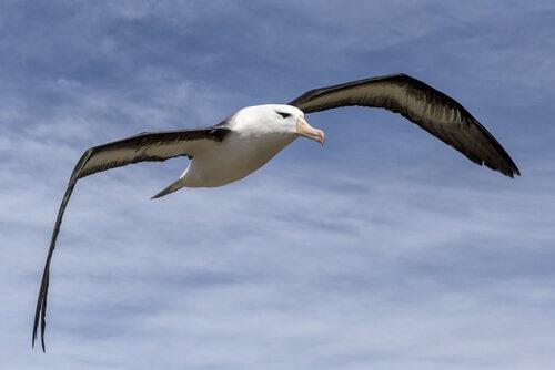 Gabbiano plana con le ali mezze aperte