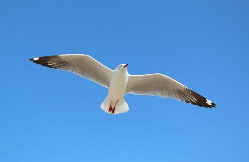Gabbiano vola con ali aperte