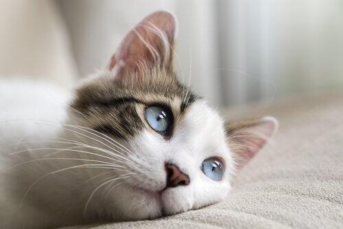 Gattino con gli occhi azzurri sdraiato sul divano