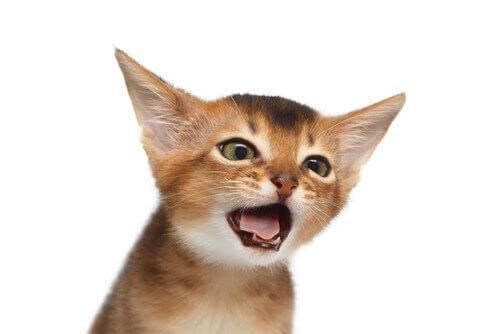 Tosse nei gatti: cause, tipi e cure