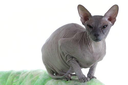 Gatto Donskoy accovacciato sul bracciolo di un divano