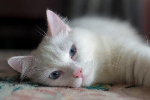 Gatto bianco triste