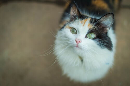 un gatto comune europeo con lo sguardo rivolto verso l'alto