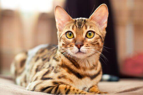 Le 5 razze di gatti più maestosi