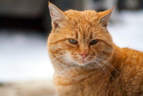 Gatto di colore rosso con gli occhi verdi