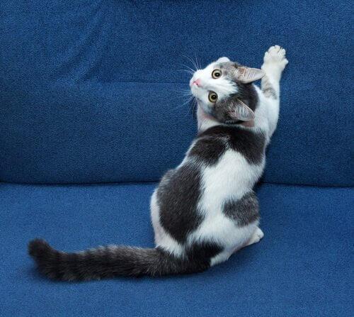 un gatto graffia un divano blu