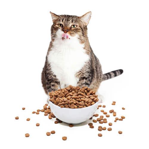 Gatto in sovrappeso con del mangime sparso oltre la ciotola