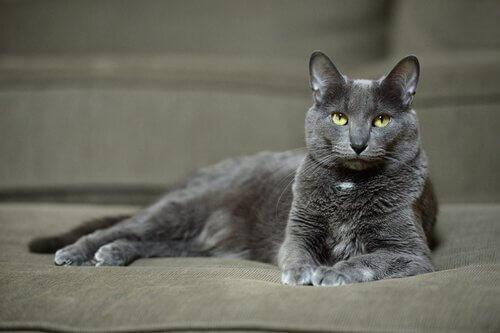 Korat di lato su un divano