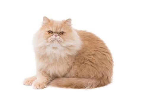 Gatto persiano arancione