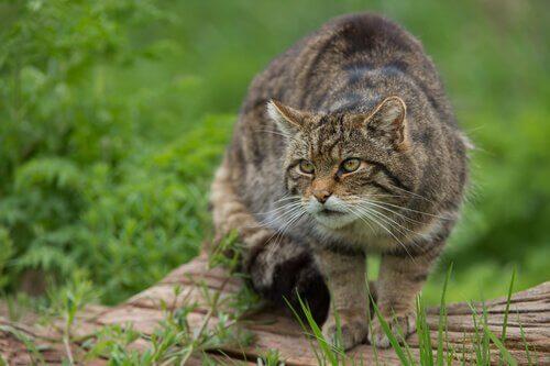 Gatto selvatico: caratteristiche, comportamento e habitat