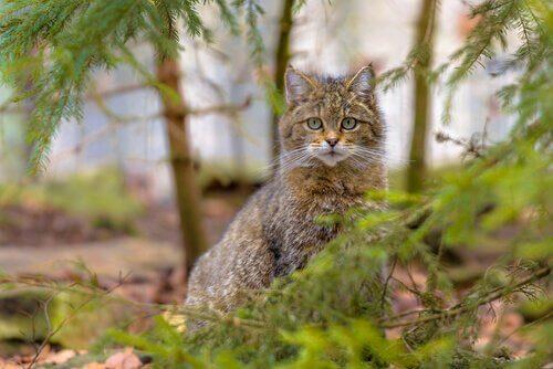 Gatto Selvatico Caratteristiche Comportamento E Habitat I Miei