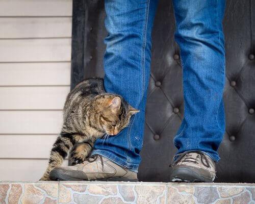 Gatto si strofina su gamba del padrone