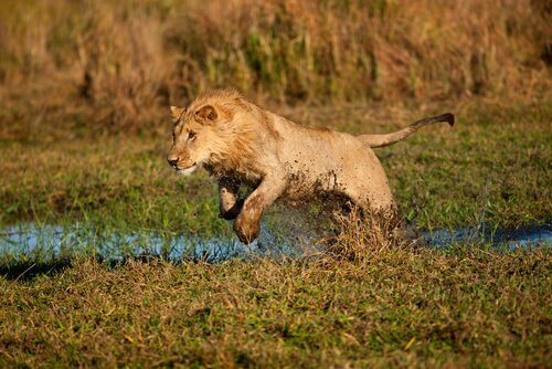 Giovane leone salta in un terreno umido
