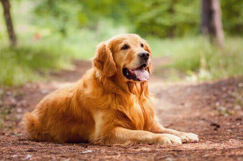Golden retriever adulto sdraiato con la lingua di fuori