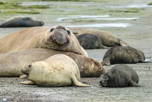 un gruppo di Elefanti marini sdraiati
