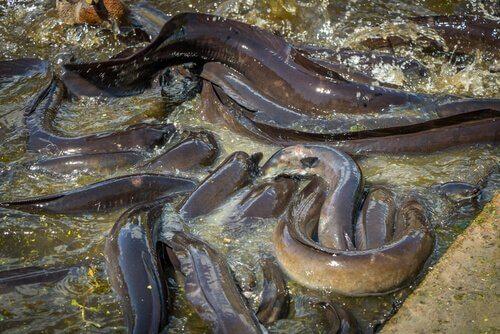 un gruppo di anguille si dimena nell'acqua bassa