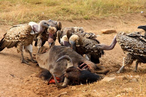 Gruppo di avvoltoi divorano un bufalo