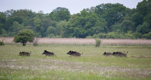 un gruppo di cinghiali corre in un prato