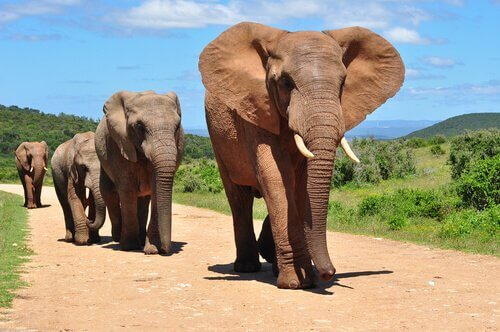 Le 7 principali differenze tra elefanti asiatici e africani