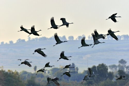 Gruppo di fenicotteri volano al tramonto