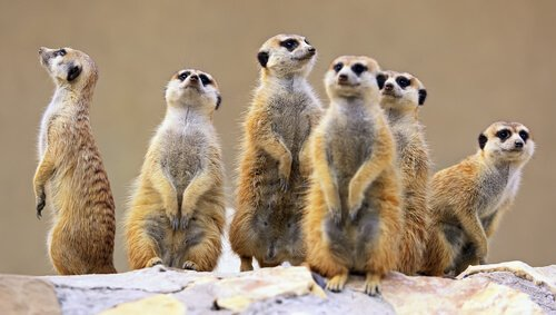 Gruppo di suricati, un tipo di mangusta