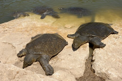 Gruppo di tartarughe del Nilo si riscaldano al sole