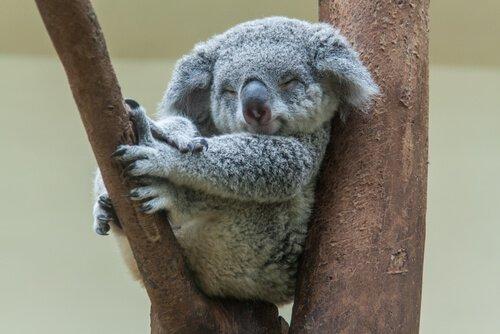Koala fotografato mentre dorme