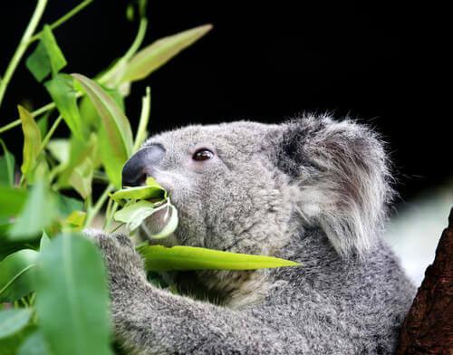 un koala mangja delle foglie di eucalipto