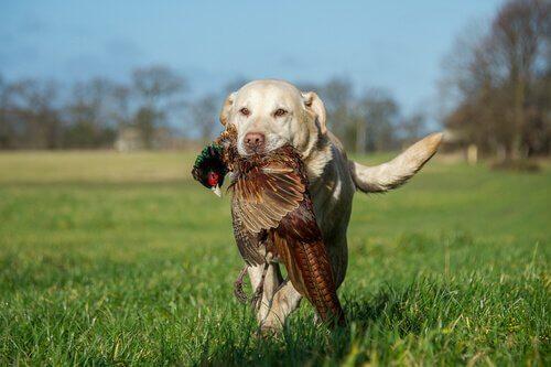 Cane da caccia con fagiano in bocca