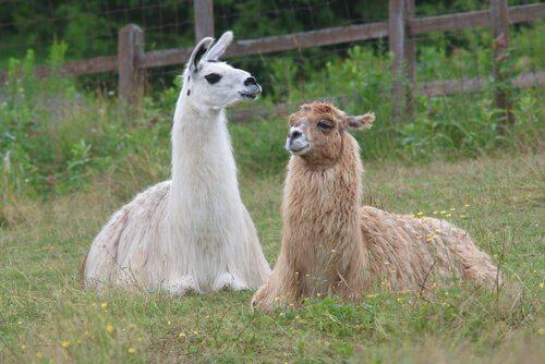 Lama disteso accanto a un alpaca