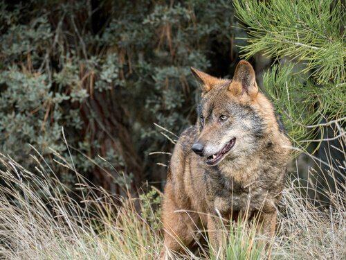 un lupo nascosto nell'erba alta pronto ad attaccare