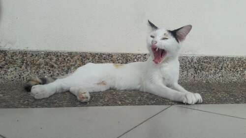 Gatto bianco sdraiato sbadiglia