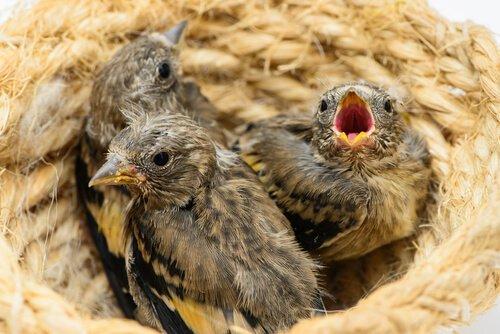 Un nido con tre pulcini