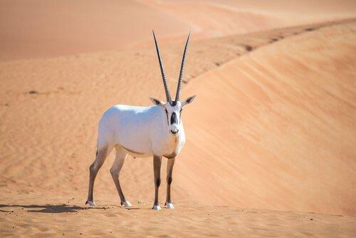 un orice d'Arabia bianca nel deserto