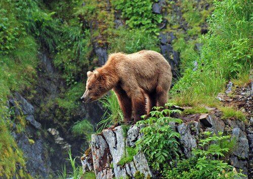 Grizzly, il più famoso orso dei boschi