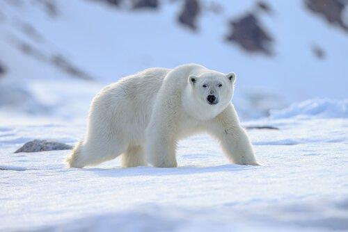 Animali polari: adattamento perfetto al freddo